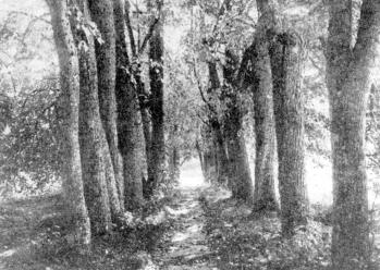 Zatulenye  country estate. Lime-tree alley. Photograph of 1915